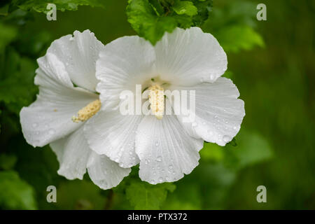 Two white flowers on a Rose of Sharon shrub, Althea, Hibiscus syriacus Diana after a rain. USA. - Stock Photo