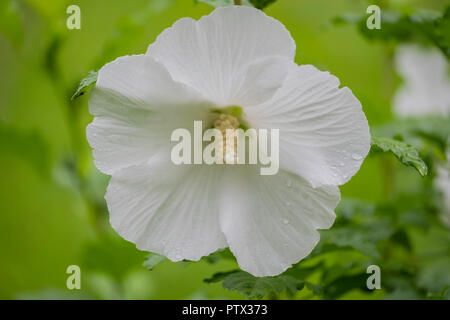 A pure white flower on a Rose of Sharon shrub, Althea, Hibiscus syriacus Diana, after a rain. USA. - Stock Photo