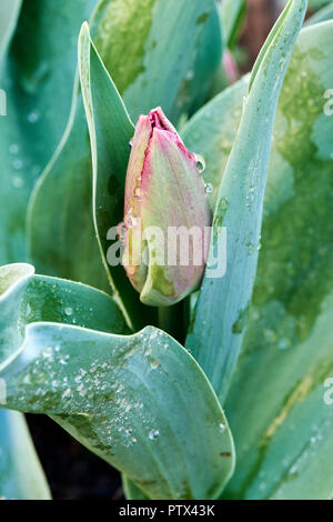 Young tulip Le De France in early spring before full bloom covered in morning dew. - Stock Photo
