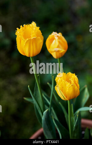 Three yellow tulips in a terracotta pot in a garden. - Stock Photo