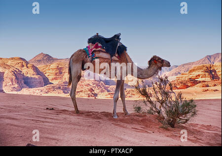One camel waits near an isolated bush amidst the sand and mountains of the Wadi Rum desert in Southern Jordan. - Stock Photo