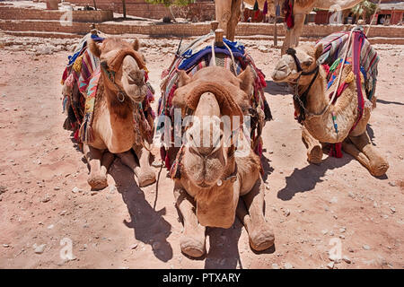 Three camels with saddles and blankets ready for tourists are close-up and staring directly at the camera. - Stock Photo