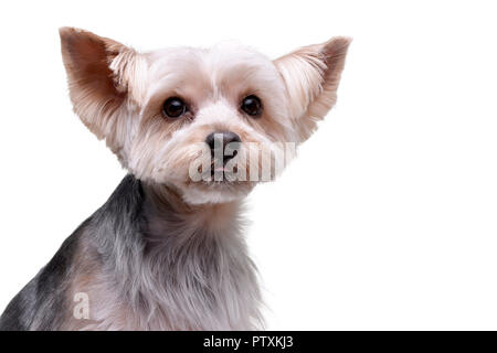 Portrait of an adorable Yorkshire Terrier - isolated on white background. - Stock Photo