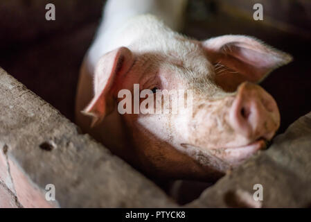 Pig close up portrait in a farm - Stock Photo