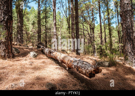 tree trunk lying on ground in fir forest landscape - Stock Photo