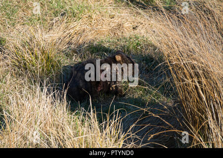 Wombat with mange and a self inflicted wound from scratching too much - Stock Photo