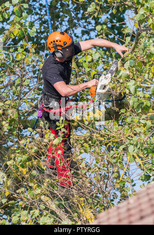 Tree feller up a tree in Autumn secured by rope using a saw to trim a tree, in the UK. Tree surgery. Tree felling. Tree surgeon. Tree pruning. - Stock Photo
