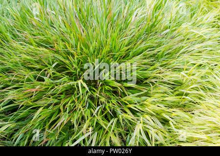 Hakonechloa macra, Japanese-forest grass closeup, from a garden in Dorset, United Kingdom - Stock Photo