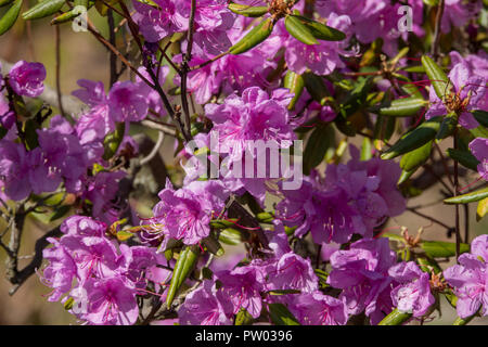Lilac flowering rhododendron bush - Stock Photo