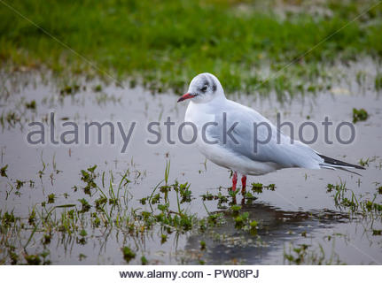 Black-headed Gull, Chroicocephalus ridibundus (fka Larus ridibundus) in winter plumage, standing in a flash-flood pond in a park in Scotland. - Stock Photo