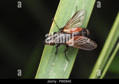 Tachinid fly (Eriothrix rufomaculata) perched on grass. Tipperary, Ireland - Stock Photo