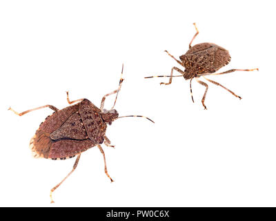 Brown marmorated stink bugs Halyomorpha halys, an invasive species from Asia. On white background. - Stock Photo