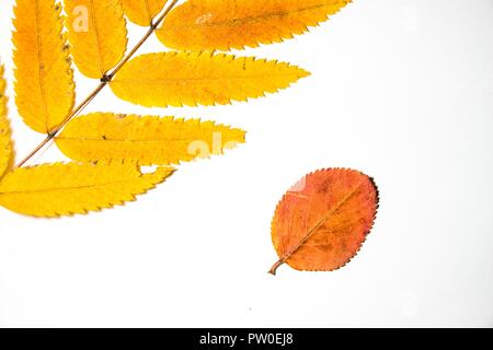 A variety of autumn leaves lie on a white background. They are dry and collected in a forest glade. Autumn is the most beautiful time of the year. - Stock Photo