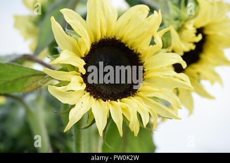 Lovely sunflower bloom in the garden - Stock Photo