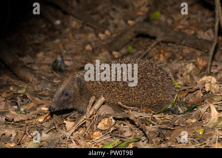 Detailed, landscape close up of single hedgehog (erinaceus europaeus) side view, foraging in leaves, outdoors in dark woodland undergrowth. - Stock Photo