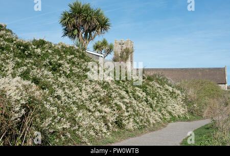 Russian Vine near Pakefield Church, Suffolk, UK - Stock Photo