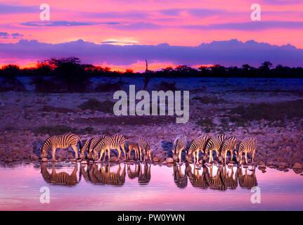 Zebras drinking at waterhole during sunset and sunrise. Etosha national park safari game drive in Namibia. Safari animals, game drive in Africa. Trave - Stock Photo