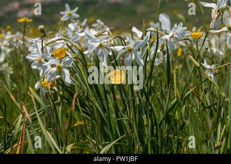 Poet's Daffodil, Pheasant Eye Narcissus. Abruzzo - Stock Photo