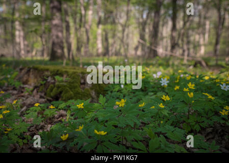 Frühblüher im Wald - Stock Photo