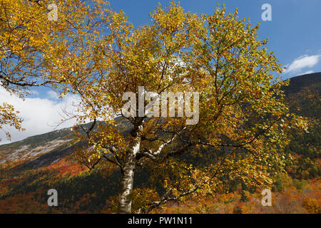 Birch tree, Crawford Notch, White Mountain National Forest, New Hampshire, USA - Stock Photo