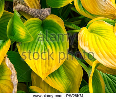 Hosta — AKA plantain lily, giboshi or Funkien — turning a rich autumn color in October as it dies back for the winter. - Stock Photo
