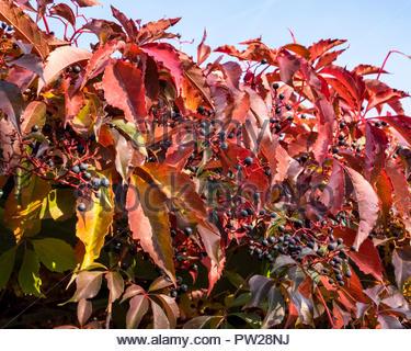 Leaves of Virginia creeper — Parthenocissus quinquefolia — in autumn - Stock Photo