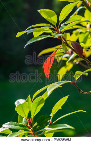 Photinia fraseri, Red Robin, ornamental, tree, shrub, showing leaf in October, Germany. - Stock Photo