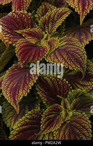 Colourful leaves of Flame Nettle Solenostemon scutellarioides - Stock Photo