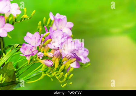 Vibrant flower bouquet of pink alstroemeria on green background with copy space - Stock Photo