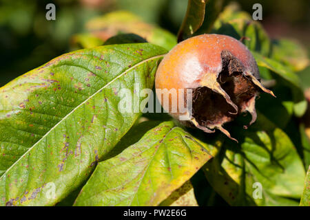 Common medlar fruit of the medlar tree - Stock Photo