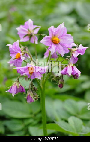 Solanum tuberosum 'Maris Piper' potato plant variety in flower, UK - Stock Photo