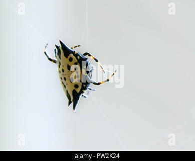 A spiny backed orb weaver spider spinning its web, Marietta, Georgia, USA - Stock Photo
