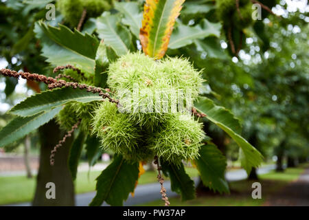sweet chestnut tree with nutshells and leaves Liverpool Merseyside England UK - Stock Photo