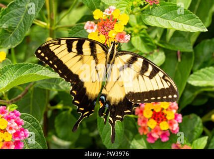 Beautiful yellow and black Eastern Tiger Swallowtail butterfly pollinating a colorful Lantana flower - Stock Photo