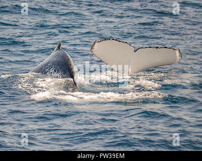 couple of whales swimming off shore Sydney in Australia, one is showing a tale during the diving, due balene nuotano al largo di Sydney in Australia - Stock Photo