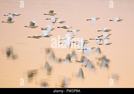 CATTLE EGRET (Bubulcus ibis) flock in flight at sunset, Lake Urema, Gorongosa National Park, Mozambique. - Stock Photo