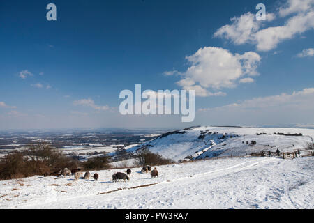 Snow on South Downs with grazing sheep, near Ditchling Beacon, South Downs National Park, West Sussex, England, UK. - Stock Photo