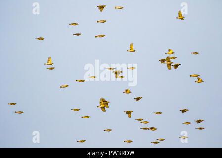 SOUTHERN MASKED WEAVER (Ploceus velatus) flock in flight, Gorongosa National Park, Mozambique. - Stock Photo