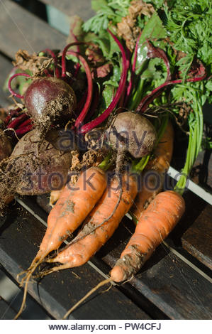 Freshly picked homegrown organic vegetables on wooden garden seat. Carrots and beetroots - Stock Photo