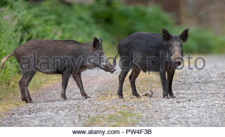 Wild Boar busy themselves in the beautiful Royal Forest of Dean - Stock Photo