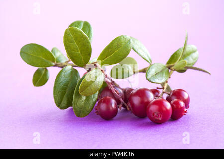 Wild cowberry on purple background. Ripe red forest berries Vaccinium vitis-idaea with green leaves. - Stock Photo