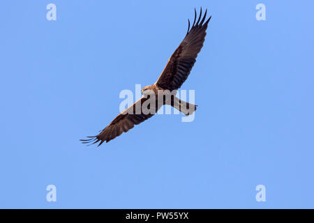 Western marsh harrier / Eurasian marsh harrier (Circus aeruginosus) female in flight against blue sky - Stock Photo