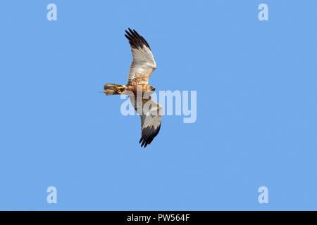 Western marsh harrier / Eurasian marsh harrier (Circus aeruginosus) male in flight against blue sky with caught frog in talons - Stock Photo