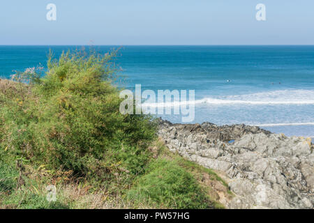 Tamarisk (almost certainly  Tamarix gallica) shrub growing in Newquay, Cornwall. Parts of Tamarisk used in herbal medicine. - Stock Photo