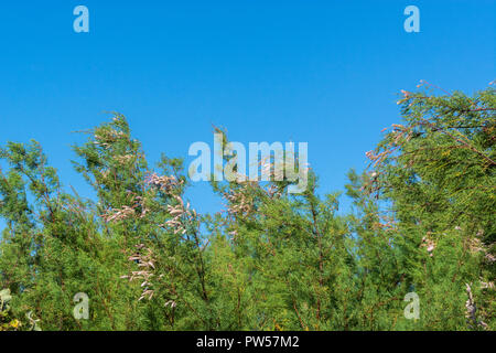 Tamarisk (almost certainly  Tamarix gallica) shrub growing in Newquay, Cornwall. - Stock Photo