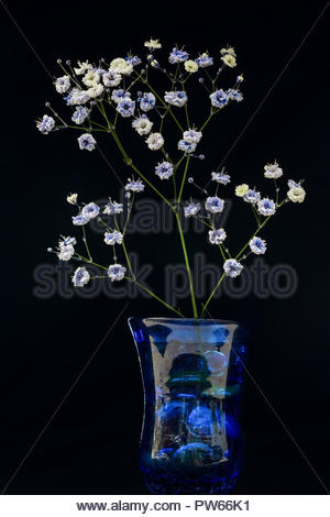 Small baby's breath flower sprig in a blue vase with black background - Stock Photo