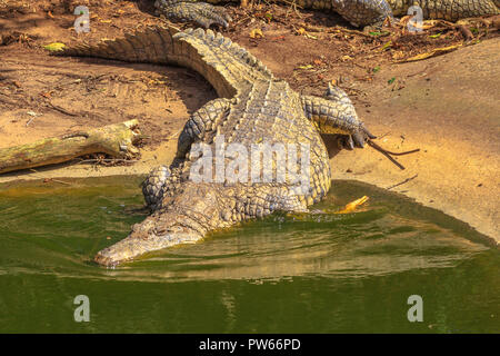 African Crocodiles entering the water in Ezemvelo KZN Wildlife. Nile Crocodile in St Lucia Estuary within iSimangaliso Wetland Park, South Africa, one of the top Safari Tour destinations. - Stock Photo