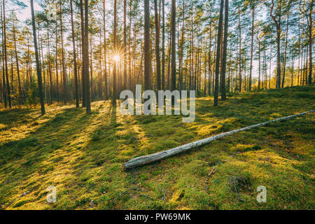 Belarus. Beautiful Sunset Sunrise Sun Sunshine In Sunny Summer Coniferous Forest. Sunlight Sunrays Shine Through Woods In Forest Landscape. - Stock Photo
