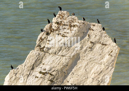 Cormorants (Phalacrocorax carbo) sunbathing around outer edges of a tall slice of chalk rock near the base of cliffs at Seaford head splash point UK - Stock Photo