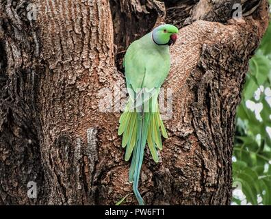 The rose-ringed parakeet (Psittacula krameri), also known as the ring-necked parakeet, is a medium-sized parrot in the genus Psittacula of the family - Stock Photo